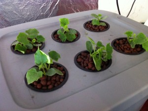 Hydroponics, Setup At Home, Aquaponic, Backyard Hydroponics, Do It Yourself